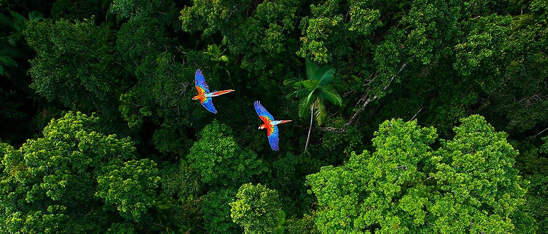 2 pappagalli colorati sorvolano sopra foresta pluviale